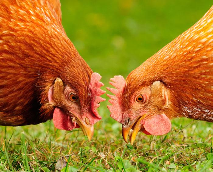 adima-azienda-polli